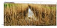 Reed beds in Kent , with a swan , Canvas Print