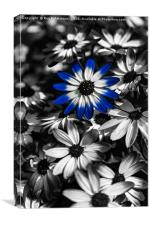 Blue Senetti, Canvas Print