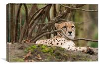 Relaxing leopard under a tree, Canvas Print