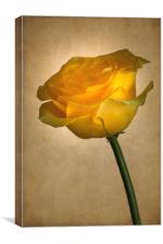 Yellow Rose , Canvas Print