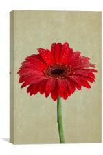 Ode To A Gerbera Daisy, Canvas Print