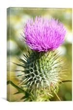 Thistle, Canvas Print