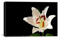 White Lily on Black., Canvas Print