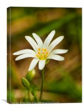 Greater Stitchwort, Canvas Print