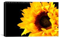Rich Sunflower on Black., Canvas Print