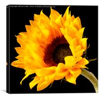 Sunflower central on a black background., Canvas Print
