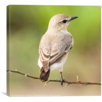 Wheatear, Canvas Print