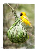 Yellow Weaver At Work, Canvas Print
