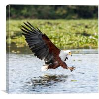 Fish Eagle, Canvas Print