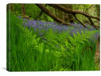 Bluebells in the woods, Canvas Print