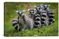Family of Ring Tailed Lemurs, Canvas Print