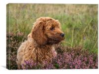 A young red Cockapoo puppy, Canvas Print