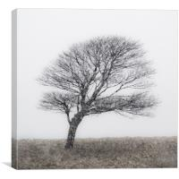 Lone Tree in snow storm, Canvas Print