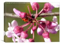 Flowering Redbud with Ladybug, Canvas Print