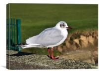 Black-headed Gull - Chroicocephalus ridibundus, Canvas Print