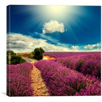 lavender field , Canvas Print