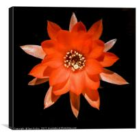 Flower of Rats Tail cactus, Canvas Print