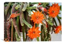 Flowers of Rats Tail cactus, Canvas Print