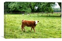 Young cow eating grass while looking forward , Canvas Print