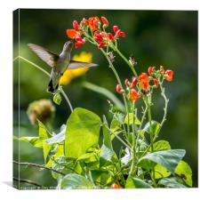 Broad-tailed Hummingbird and Scarlet Runner Beans, Canvas Print