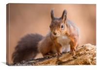 Red Squirrel in Northumberland, Canvas Print