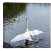 Mute Swan Stretching, Canvas Print