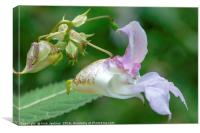 Himalayan Balsam Flower in Local Woodland, Canvas Print