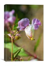 Himalayan Balsam Flower in Hedgerow, Canvas Print