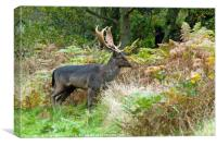 Fallow Deer Stag on Cannock Chase, Canvas Print