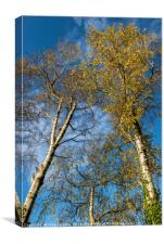 Silver Birch Trees in Autumn, Canvas Print