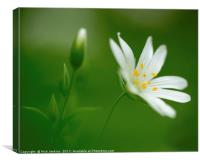 Greater Stitchwort Flower Close Up, Canvas Print