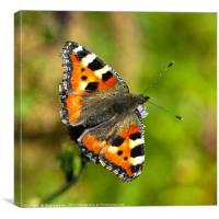 Small Tortoiseshell Butterfly Close Up, Canvas Print