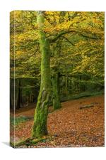 Beech Trees in Woodland in Autumn, Canvas Print