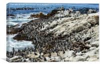 Jackass penguin colony, Canvas Print