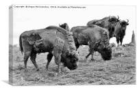 Group of European bison, Canvas Print