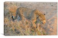 Close encounter with a leopard, Canvas Print