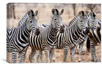 Zebra line up, Canvas Print