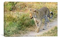 Leopard on the move, Canvas Print