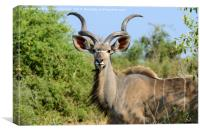 Portrait of a male greater kudu, Canvas Print