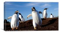 Gentoo Penguins on the Falkland Islands, Canvas Print