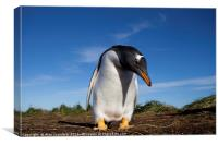 Gentoo Penguin, Falkland Islands, Canvas Print