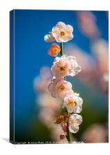 Beautiful springtime blossom of the Japanese Apric, Canvas Print
