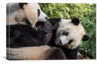Giant Panda Bear Playing with Cub, Canvas Print