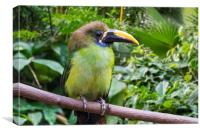 Blue-throated Toucanet, Canvas Print