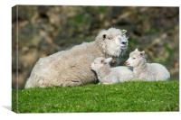 Sheep with Two Lambs, Canvas Print