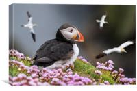 Atlantic Puffin Watching Soaring Gannets, Canvas Print