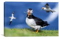 Atlantic Puffin Building Nest , Canvas Print