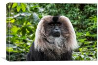 Lion Tailed Macaque, Canvas Print