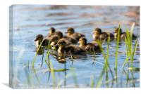 Springtime Ducklings.. , Canvas Print
