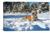 Siberian Tiger in snow, Canvas Print